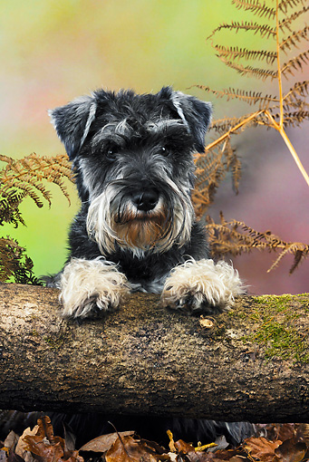 DOG 02 JD0010 01 © Kimball Stock Miniature Schnauzer Looking Over Log
