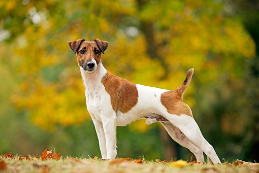 DOG 02 JE0001 01 © Kimball Stock Fox Terrier Standing On Fallen Leaves