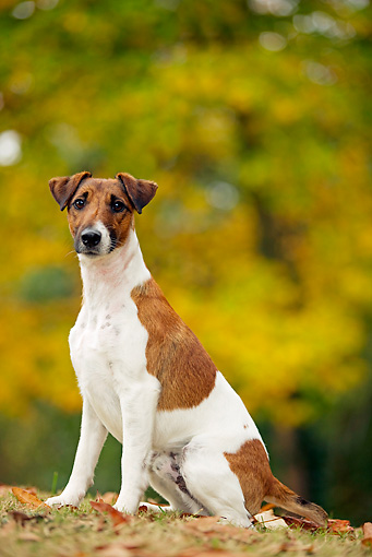 DOG 02 JE0002 01 © Kimball Stock Fox Terrier Sitting On Fallen Leaves