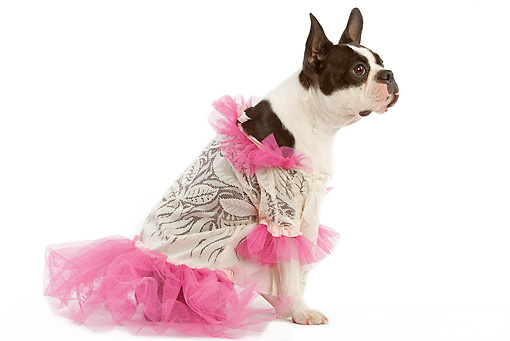 DOG 02 JE0004 01 © Kimball Stock Boston Terrier Wearing Pink And White Dress Sitting On White Seamless