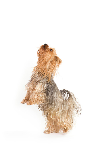 DOG 02 JE0006 01 © Kimball Stock Yorkshire Terrier Standing On Hind Legs On White Seamless
