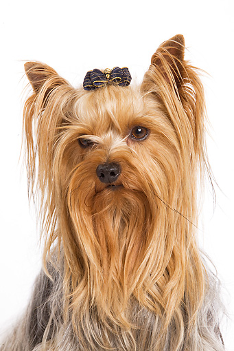 DOG 02 JE0007 01 © Kimball Stock Head Shot Of Yorkshire Terrier Sitting On White Seamless