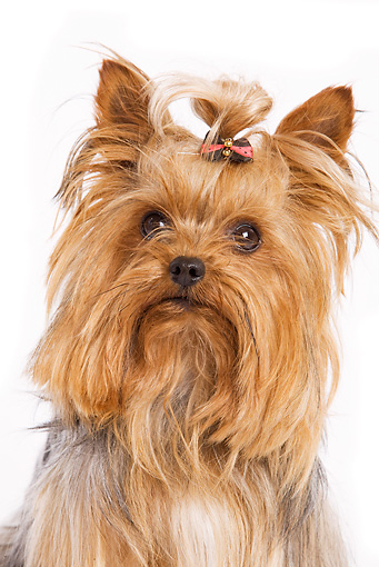DOG 02 JE0008 01 © Kimball Stock Head Shot Of Yorkshire Terrier Sitting On White Seamless