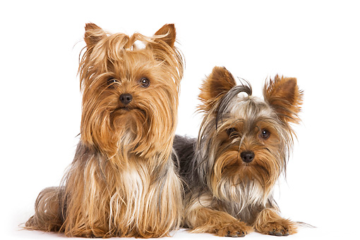 DOG 02 JE0009 01 © Kimball Stock Yorkshire Terriers Laying And Sitting On White Seamless
