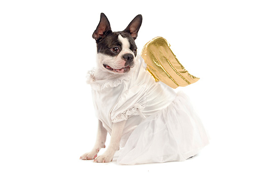 DOG 02 JE0012 01 © Kimball Stock Boston Terrier Wearing Angel Costume Sitting On White Seamless