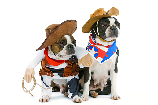 DOG 02 JE0013 01 © Kimball Stock Boston Terriers Wearing Cowboy Costumes Sitting On White Seamless
