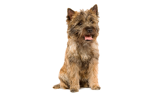 DOG 02 JE0014 01 © Kimball Stock Cairn Terrier Sitting On White Seamless