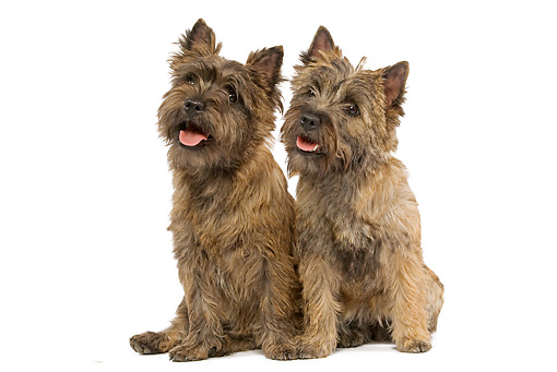 DOG 02 JE0016 01 © Kimball Stock Cairn Terriers Sitting On White Seamless