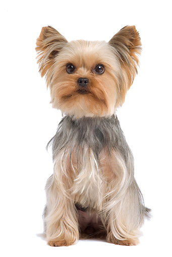DOG 02 JE0017 01 © Kimball Stock Yorkshire Terrier Sitting On White Seamless