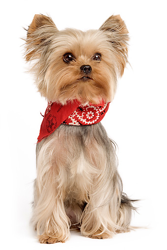 DOG 02 JE0018 01 © Kimball Stock Yorkshire Terrier Sitting On White Seamless Wearing Red Bandana
