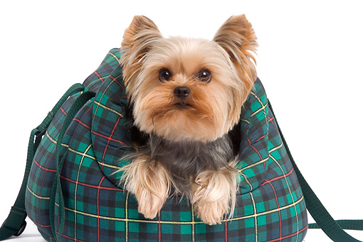 DOG 02 JE0020 01 © Kimball Stock Yorkshire Terrier Peeking Out Of Plaid Bag On White Seamless