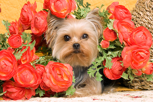 DOG 02 JE0022 01 © Kimball Stock Yorkshire Terrier Laying By Flowers