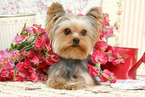 DOG 02 JE0023 01 © Kimball Stock Yorkshire Terrier Laying By Flowers