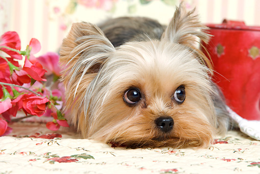 DOG 02 JE0024 01 © Kimball Stock Yorkshire Terrier Laying By Flowers