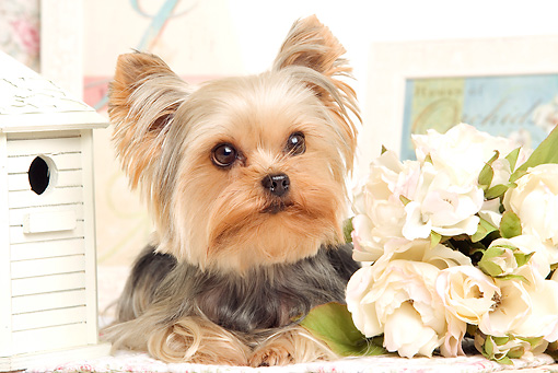 DOG 02 JE0025 01 © Kimball Stock Yorkshire Terrier Laying By Flowers