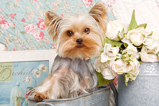 DOG 02 JE0026 01 © Kimball Stock Yorkshire Terrier Standing In Planter By Flowers