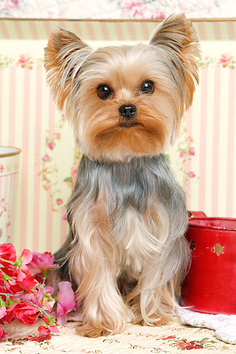 DOG 02 JE0027 01 © Kimball Stock Yorkshire Terrier Sitting By Flowers