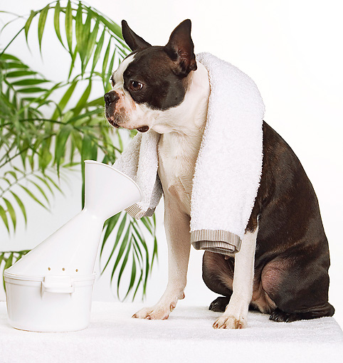 DOG 02 JE0034 01 © Kimball Stock Boston Terrier Sitting With Towel Around Neck On White Seamless
