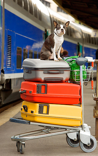 DOG 02 JE0035 01 © Kimball Stock Boston Terrier Sitting On Luggage At Train Station