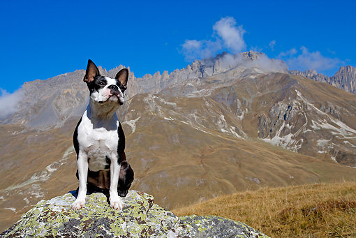DOG 02 JE0036 01 © Kimball Stock Boston Terrier Sitting On Boulder By Mountains