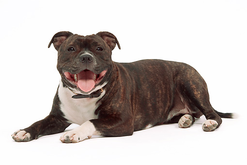 DOG 02 JE0040 01 © Kimball Stock American Staffordshire Terrier Laying On White Seamless