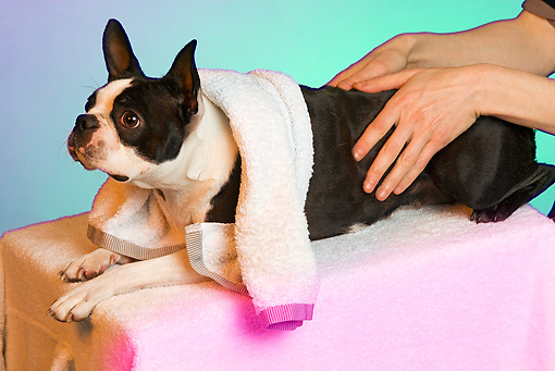 DOG 02 JE0042 01 © Kimball Stock Boston Terrier Laying On Table Getting Massage