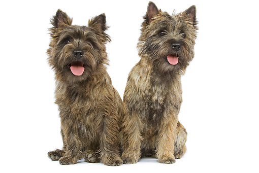 DOG 02 JE0044 01 © Kimball Stock Two Cairn Terriers Sitting On White Seamless