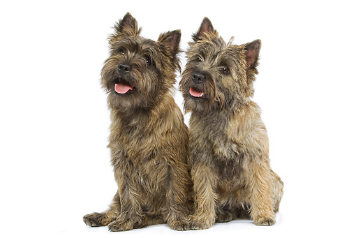 DOG 02 JE0045 01 © Kimball Stock Two Cairn Terriers Sitting On White Seamless