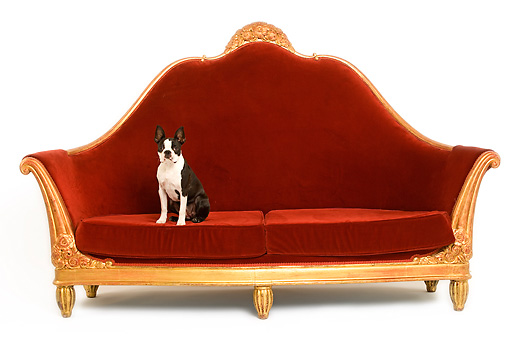 DOG 02 JE0050 01 © Kimball Stock Boston Terrier Sitting On Red Sofa On White Seamless