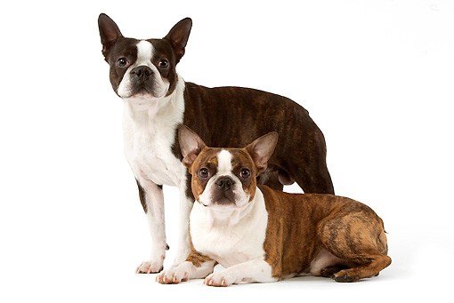 DOG 02 JE0055 01 © Kimball Stock Boston Terriers Standing And Laying On White Seamless