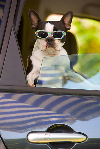 DOG 02 JE0056 01 © Kimball Stock Boston Terrier Leaning Out Of Car Window Wearing Sunglasses