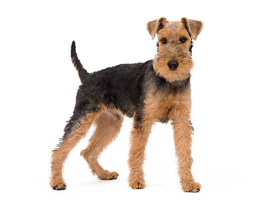 DOG 02 JE0061 01 © Kimball Stock Welsh Terrier Standing And Sniffing On White Seamless