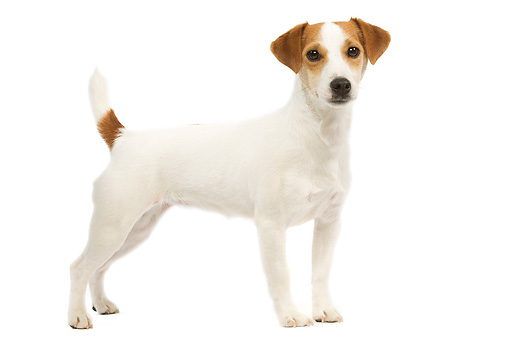 DOG 02 JE0066 01 © Kimball Stock Jack Russell Terrier Standing On White Seamless