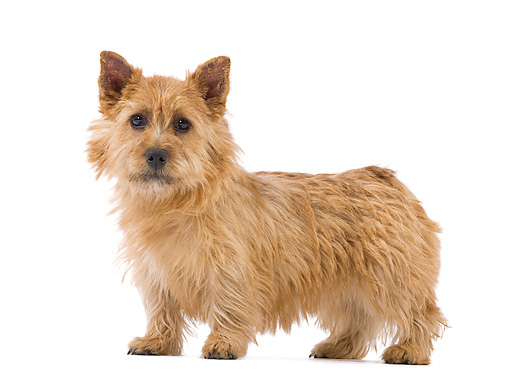 DOG 02 JE0069 01 © Kimball Stock Norwich Terrier Standing On White Seamless
