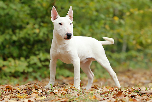DOG 02 JE0074 01 © Kimball Stock Miniature Bull Terrier Standing On Grass And Fallen Leaves