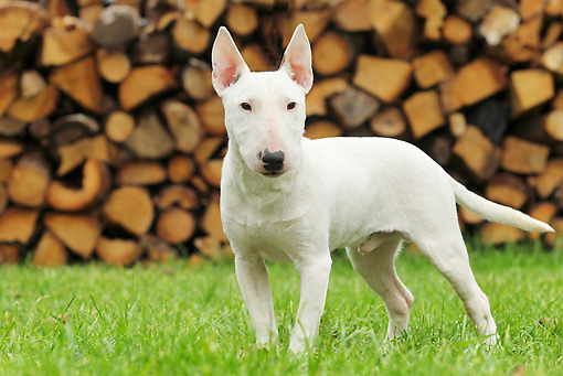 DOG 02 JE0079 01 © Kimball Stock Miniature Bull Terrier Standing On Grass By Woodpile