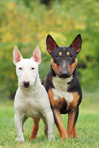 DOG 02 JE0084 01 © Kimball Stock Two Miniature Bull Terriers Standing On Grass Field