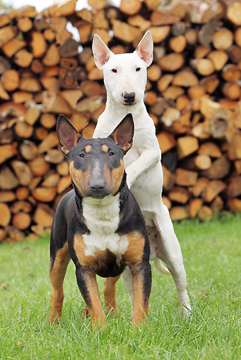DOG 02 JE0085 01 © Kimball Stock Two Miniature Bull Terriers Standing On Grass By Woodpile
