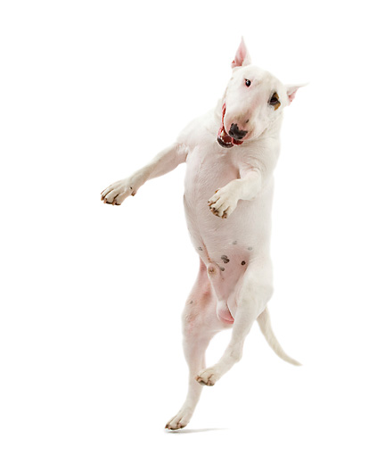 DOG 02 JE0088 01 © Kimball Stock Bull Terrier Jumping On White Seamless