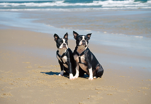 DOG 02 JN0001 01 © Kimball Stock Two Boston Terriers Sitting On Beach