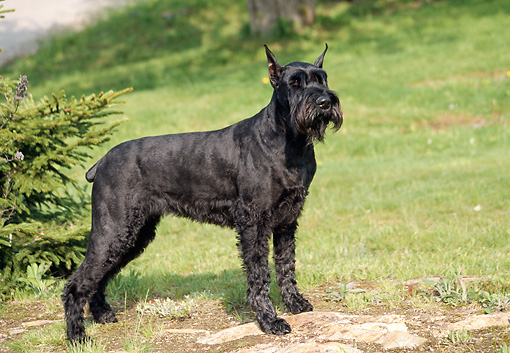 DOG 02 JN0004 01 © Kimball Stock Giant Schnauzer Standing On Grass