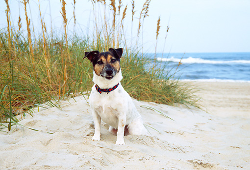 DOG 02 JN0005 01 © Kimball Stock Jack Russell Terrier Sitting On Beach