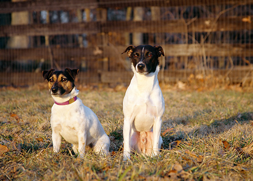 DOG 02 JN0006 01 © Kimball Stock Two Jack Russell Terriers Sitting On Grass By Fence