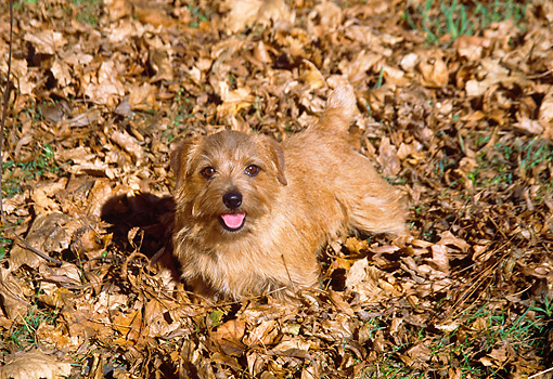 DOG 02 JN0007 01 © Kimball Stock Norfolk Terrier Standing In Fallen Leaves