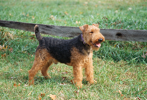 DOG 02 JN0009 01 © Kimball Stock Welsh Terrier Standing On Grass By Wooden Fence