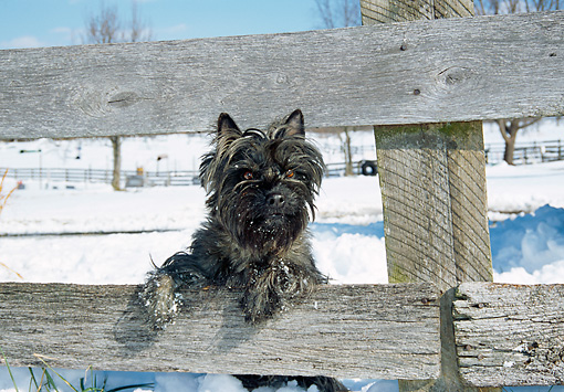 DOG 02 JN0012 01 © Kimball Stock Cairn Terrier Leaning On Wooden Fence In Snow