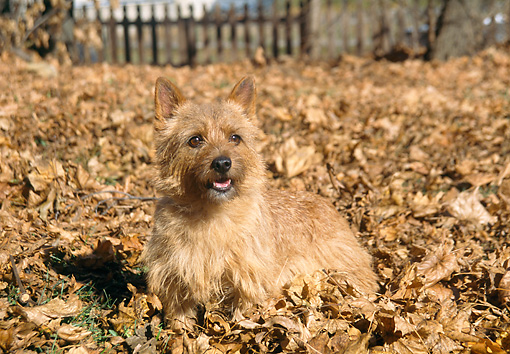 DOG 02 JN0014 01 © Kimball Stock Norwich Terrier Standing In Pile Of Leaves
