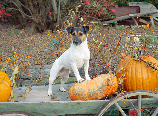 DOG 02 JN0015 01 © Kimball Stock Jack Russell Terrier Standing On Old Wagon With Pumpkins