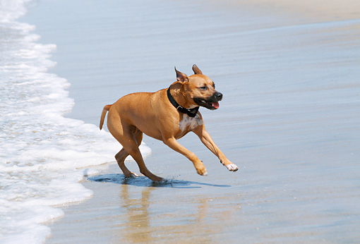 DOG 02 JN0019 01 © Kimball Stock American Pit Bull Terrier Running On Beach