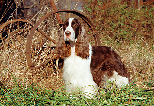 DOG 02 JN0020 01 © Kimball Stock English Springer Spaniel Standing On Grass By Old Rusty Wheel